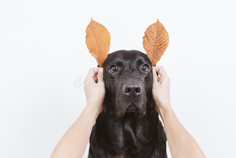与滑稽的秋天褐色叶子的逗人喜爱的黑拉布拉多狗耳朵的 看照相机的狗 r 免版税库存图片