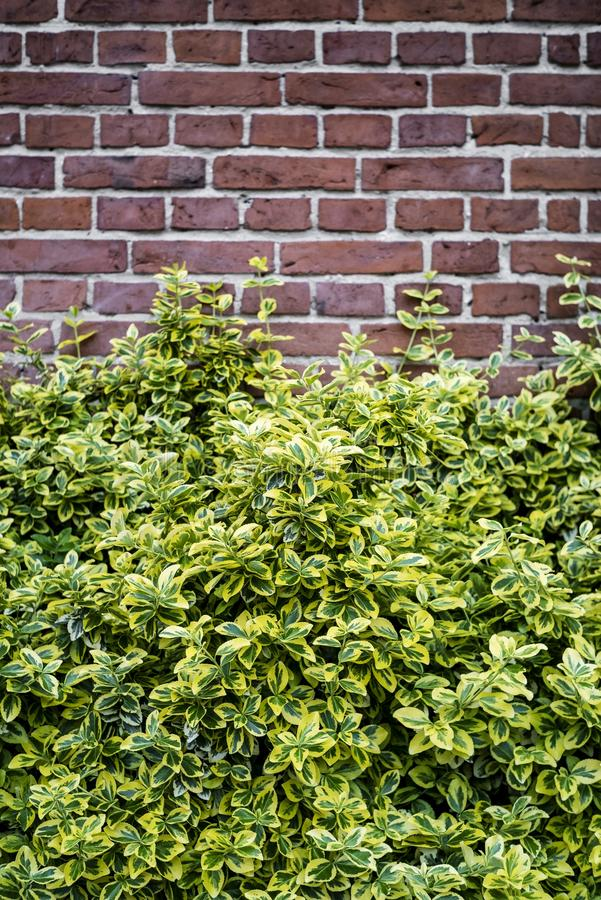 与灌木的砖墙背景 免版税库存照片