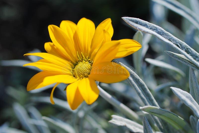 与灰色叶子的黄色花 图库摄影