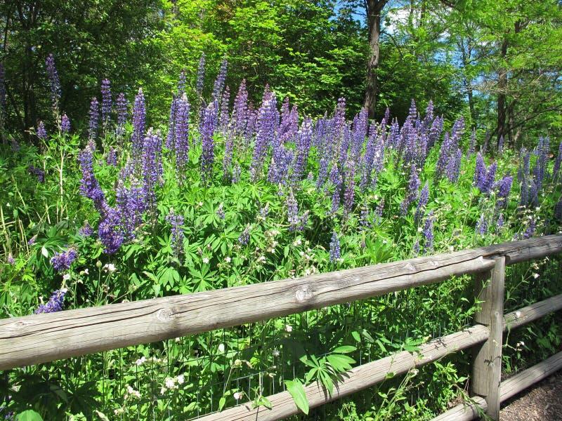与灰色木篱芭的紫色羽扇豆 库存图片
