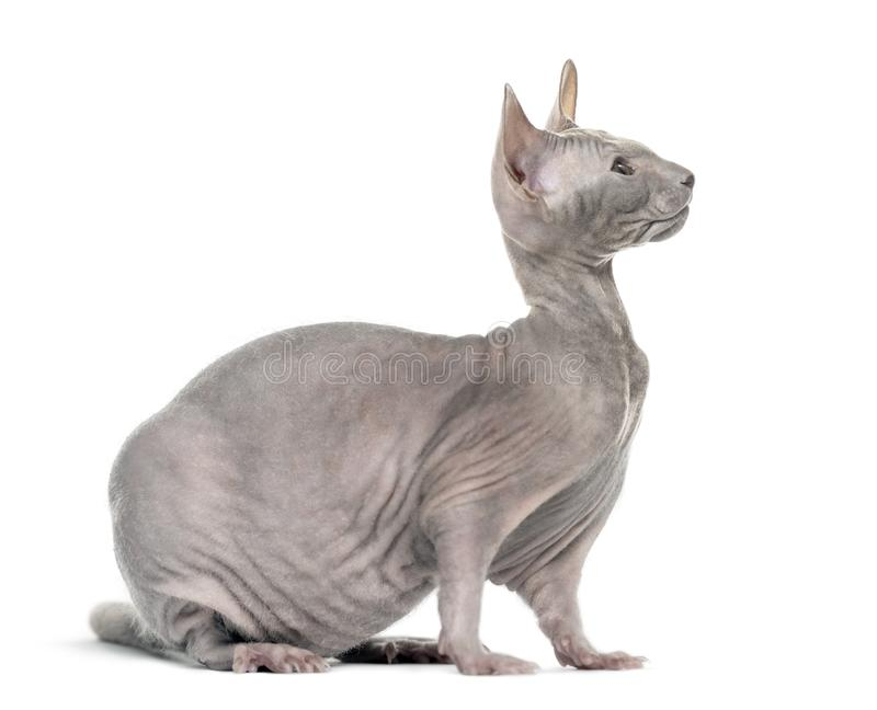 与灰色狮身人面象猫的虚构物和反对白色backgr的一个鼠身体 免版税库存图片
