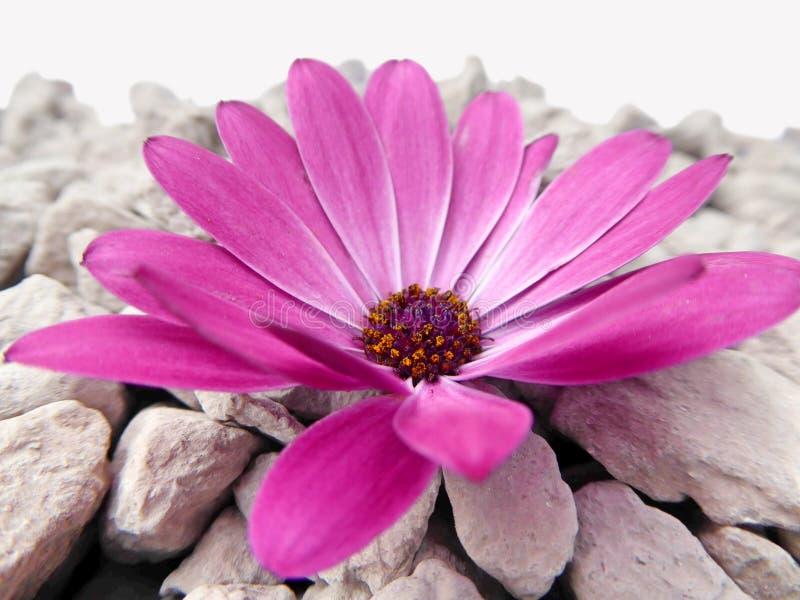 与灰色石头的紫色海角延命菊雏菊花 免版税库存图片