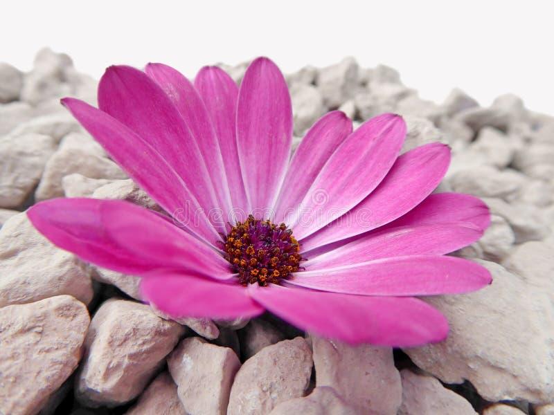 与灰色石头的紫色海角延命菊雏菊花 库存照片