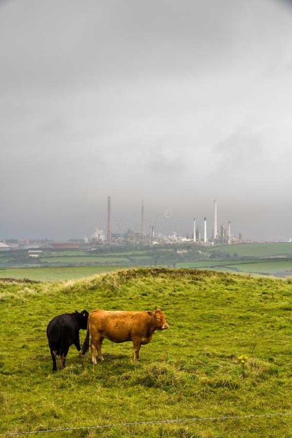 与炼油厂的两头母牛在有薄雾的背景中 免版税图库摄影