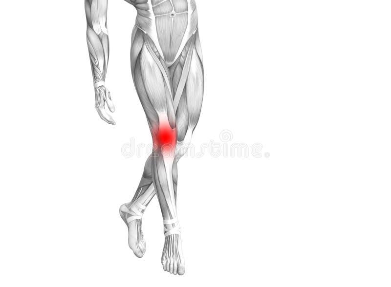 与炽热斑点炎症的膝盖人的解剖学或腿医疗保健疗法或体育肌肉的关节关节痛 库存例证