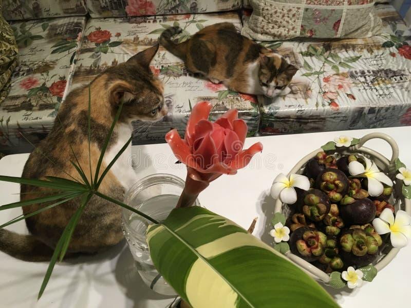 与热带家庭装饰的两只杂色猫-火炬姜花瓶和山竹果树水果篮 免版税库存图片