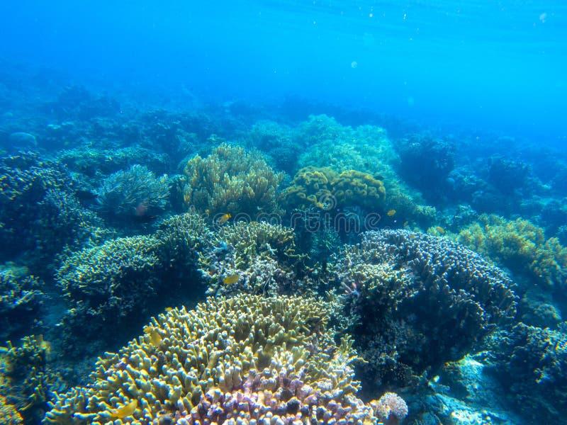 与热带鱼和珊瑚礁的水下的风景 蓝色海水的珊瑚庭院 在狂放的自然的海生动物 免版税库存照片