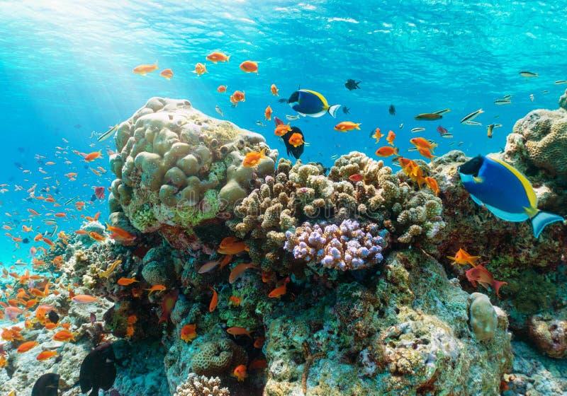 与热带鱼的五颜六色的水下的礁石在印度洋 免版税库存照片
