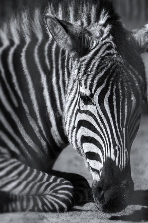与焦点的沉思说谎的斑马在面孔 免版税图库摄影