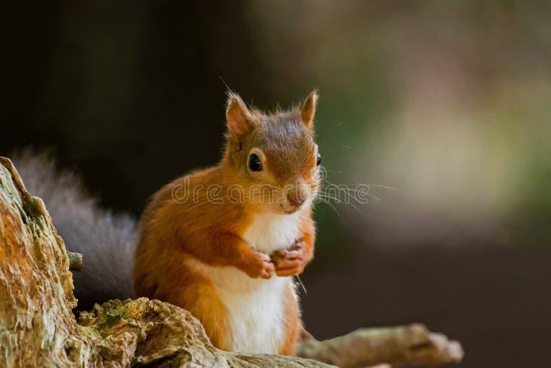 与爪子的红松鼠 库存照片