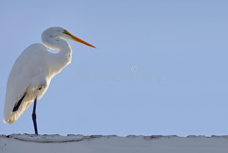 与爪的伟大的白色白鹭被卷起在翼下,被日光照射了从后面反对浅兰的天空 复制的空间 免版税库存照片