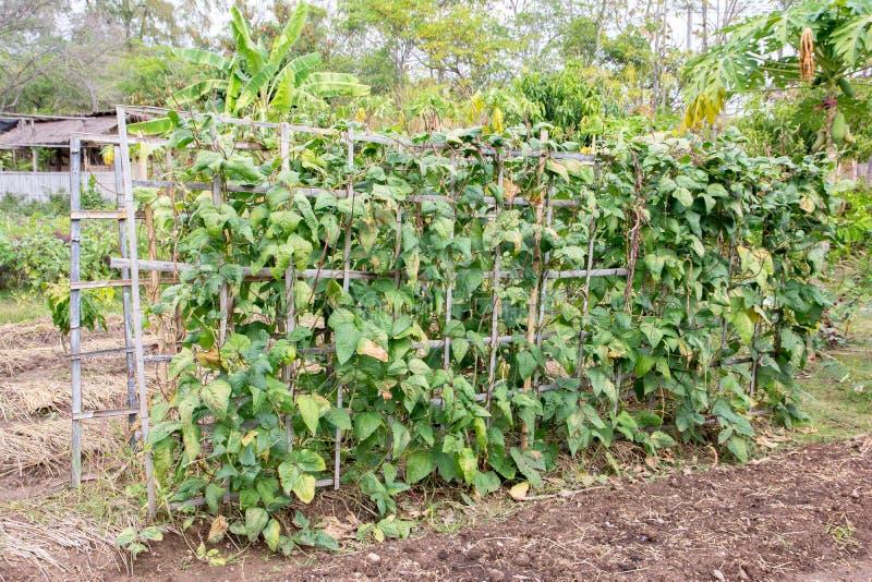 与爬行物小扁豆植物的竹树荫处领域的,竹荫径 免版税库存照片
