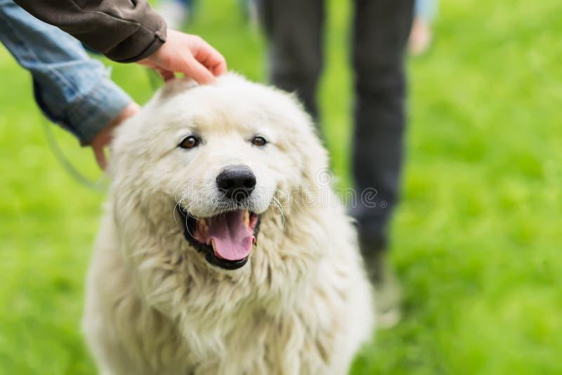 与爱抚一些只手的白色毛皮的逗人喜爱的成人狗 她是喜悦,愉快和微笑 之间友谊的概念 图库摄影