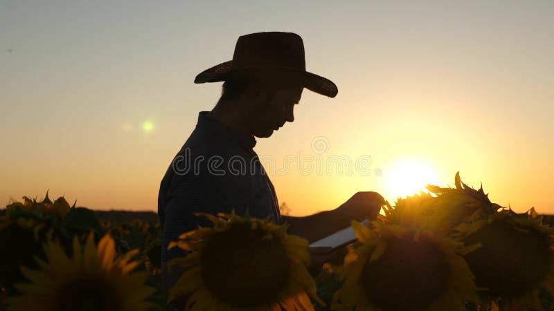 与片剂的剪影商人审查他的领域用向日葵 农业事务的概念 农夫进来 免版税图库摄影