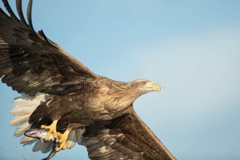 与牺牲者的狩猎老鹰 免版税库存图片