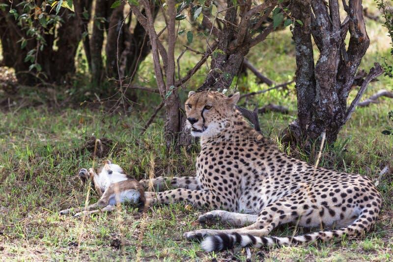 与牺牲者的猎豹 在结构树下 mara马塞语 免版税库存照片