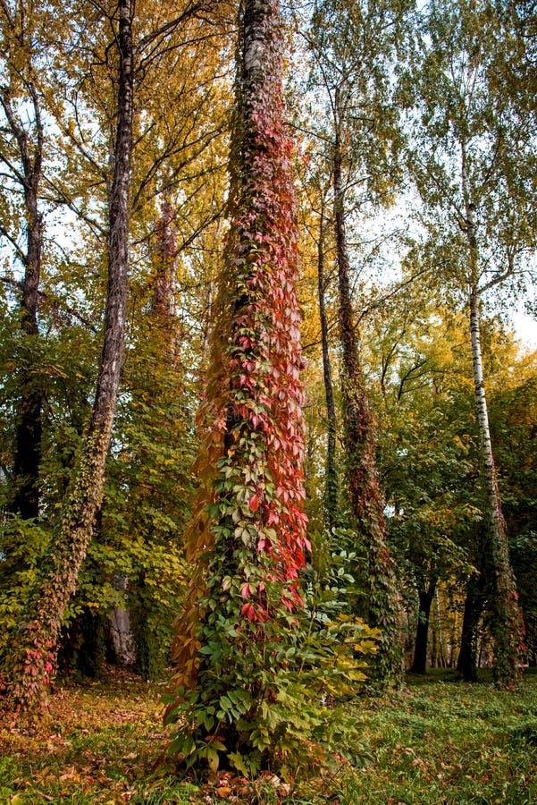 与狂放的葡萄色的叶子的神秘的秋天风景  免版税库存照片