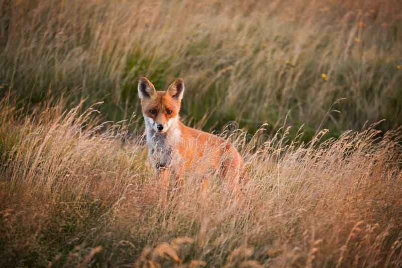 与狐狸的美好的山日出 库存照片