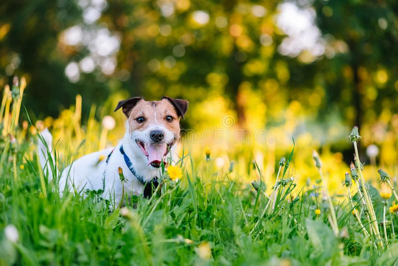 与狗的春天季节性过敏概念在开花的花中 库存图片