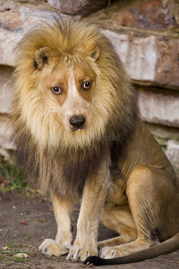 与狗表面的狮子。 免版税库存照片