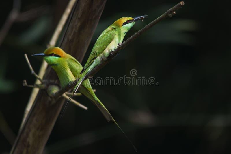 与狩猎的绿色食蜂鸟 库存图片