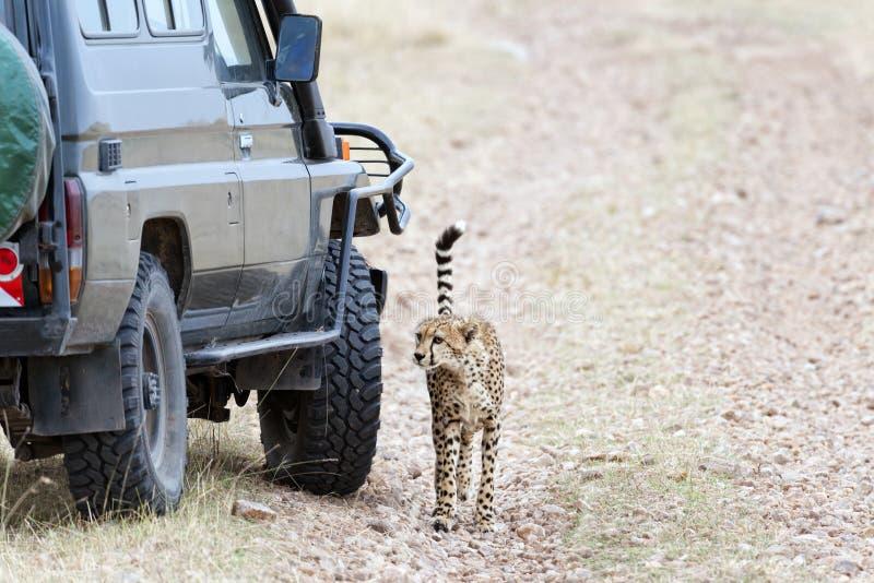 与猎豹的接近的遭遇 免版税库存图片