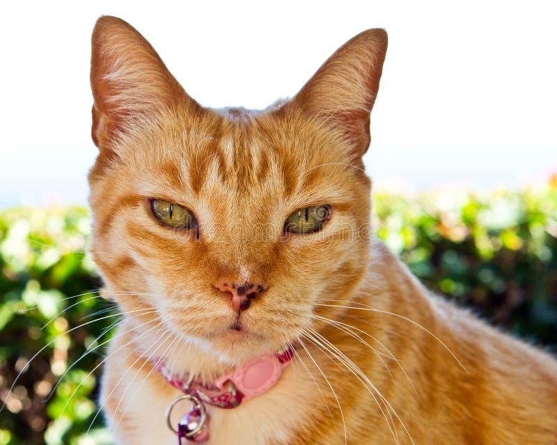 与猫的强烈的目光接触 免版税图库摄影