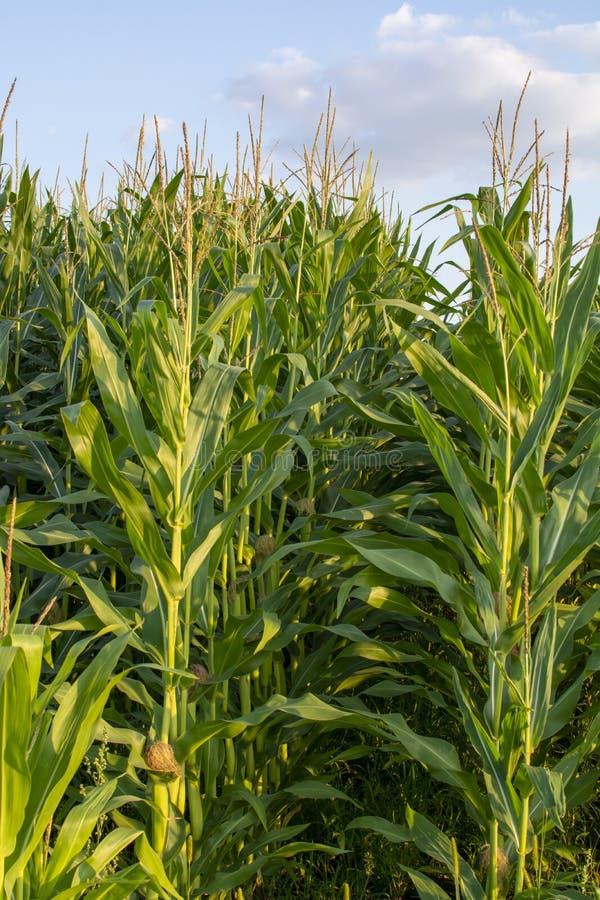 与玉米,玉米种植园的绿色农田在荷兰 库存照片