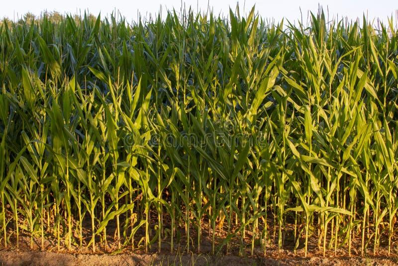 与玉米,玉米种植园的绿色农田在荷兰 图库摄影