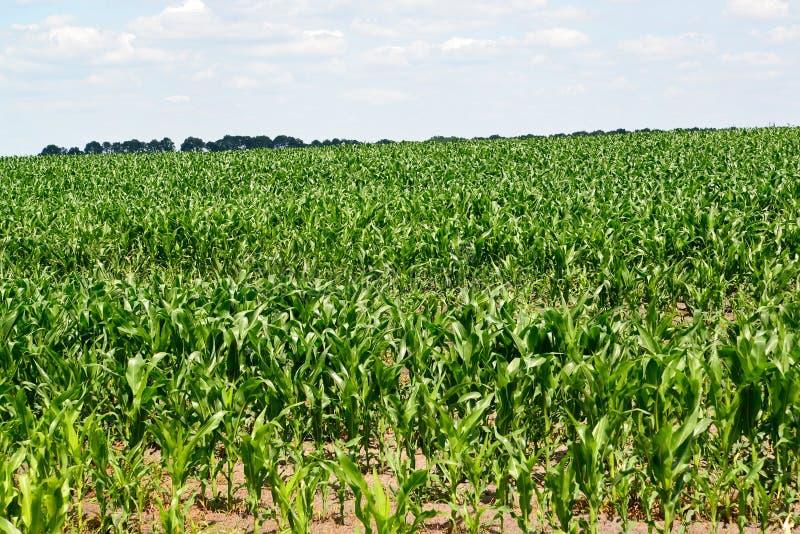 与玉米年幼植物的大领域  免版税库存图片
