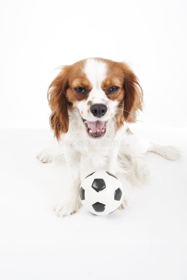 与玩具球的狗 与玩具足球软的一点橄榄球的骑士国王查尔斯狗狗小狗在白色演播室 免版税库存图片
