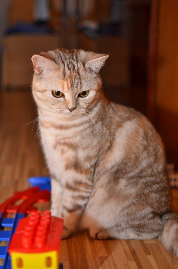 与玩具的美丽的猫 免版税库存图片