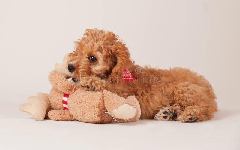 与玩具的Cockapoo小狗 免版税库存照片