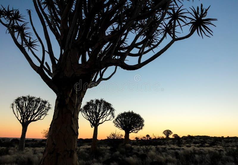 与现出轮廓的颤抖树的美好的非洲日落 免版税库存图片
