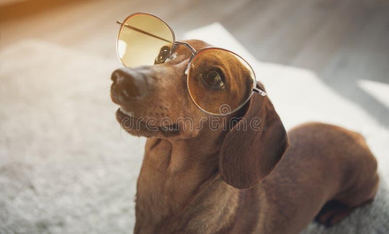 与玻璃的活泼的达克斯猎犬狗在地板上 免版税库存图片