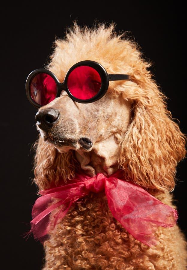 与玻璃的滑稽的狗画象 库存图片