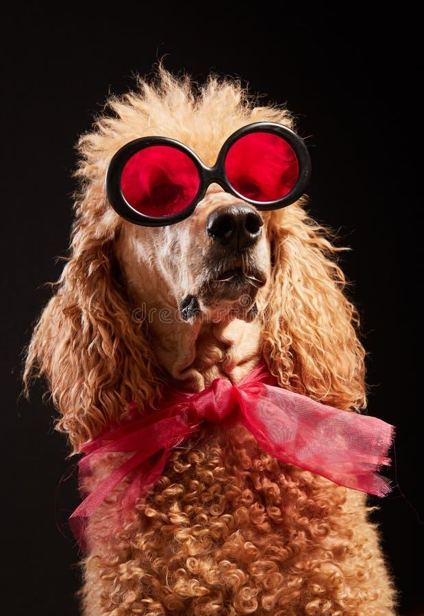 与玻璃的滑稽的狗画象 免版税库存照片