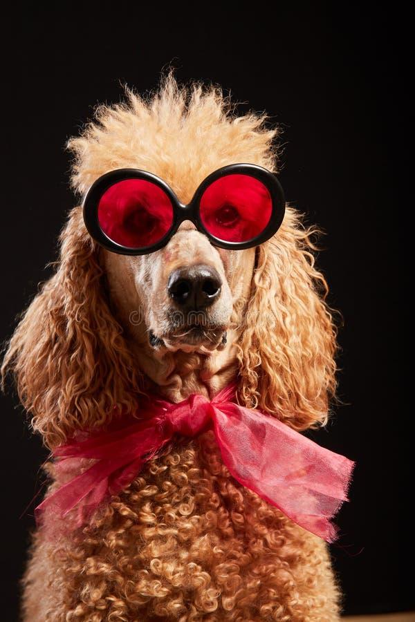 与玻璃的滑稽的狗画象 库存照片
