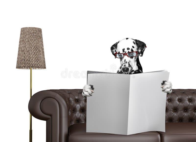 与玻璃的达尔马希亚狗读与空间的报纸文本的在沙发在客厅 查出在白色 皇族释放例证