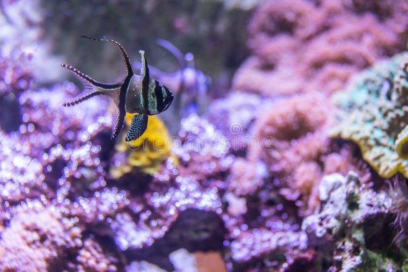 与珊瑚和热带鱼Banggai主教鱼的五颜六色的水下的世界 库存图片