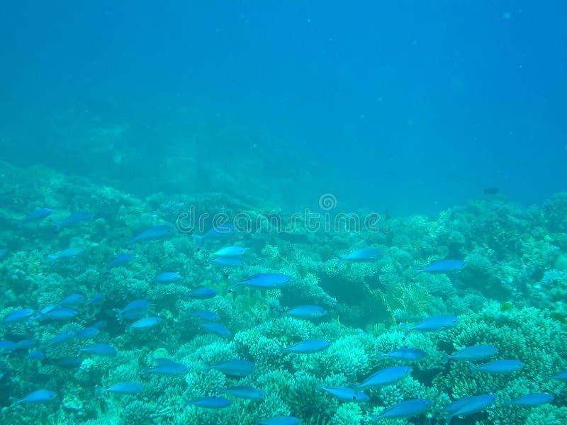 与珊瑚的蓝色鱼在没有过滤器的红海 库存图片