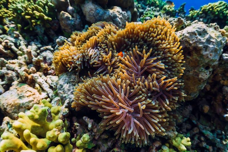 与珊瑚礁和鱼的水下的世界 银莲花属的鱼小丑 图库摄影