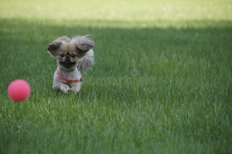 与球的一条狗 免版税库存照片