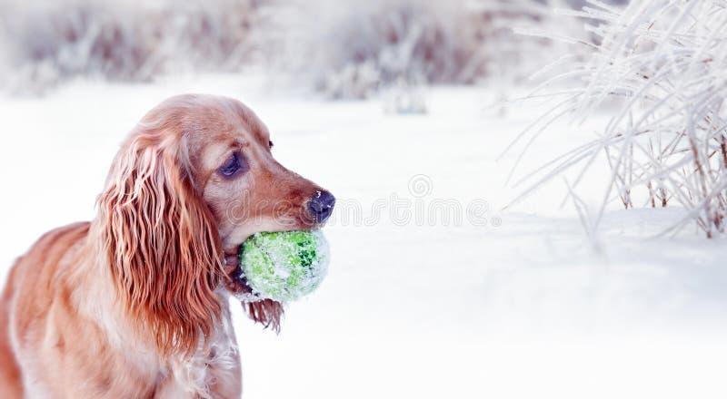 Download 与球的愉快的幼小金斗鸡家 库存照片. 图片 包括有 逗人喜爱, 狩猎, 宠物, 停留, beauvoir - 30337850