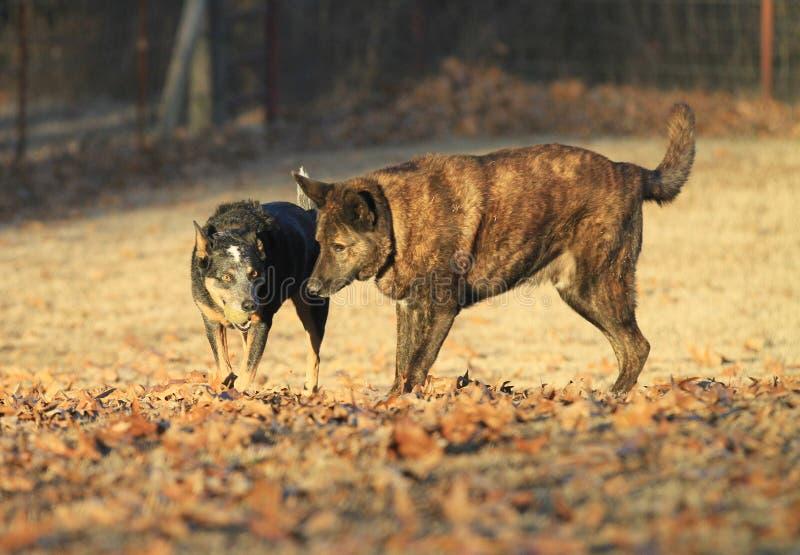 与球的澳大利亚牛狗和使用在秋天金黄光的荷兰牧羊犬 免版税库存图片