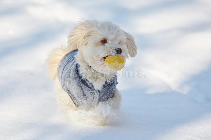 与球的白色havanese狗在雪 库存照片