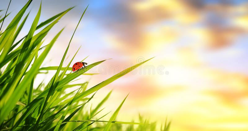 与瓢虫的新鲜的绿色春天草在日出 免版税库存图片
