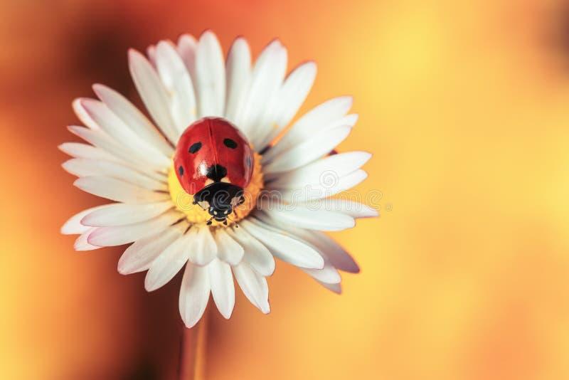 与瓢虫的春黄菊花 免版税库存图片
