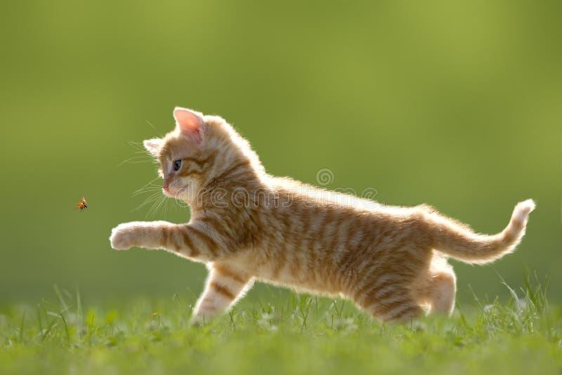 与瓢虫/瓢虫的幼小猫在绿色草甸 免版税库存图片