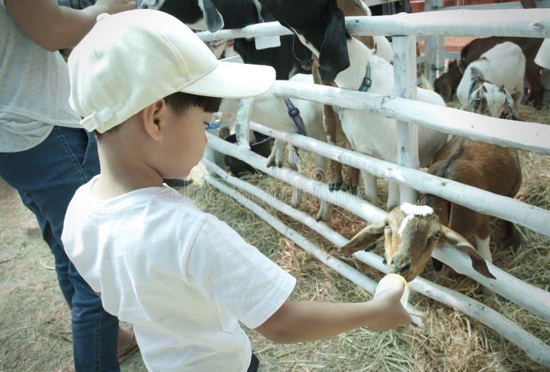 与瓶的小男孩哺养的小山羊牛奶:接近的u 免版税库存图片